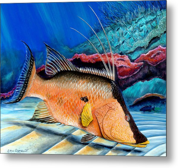 Metal Print featuring the painting Bull Hogfish by Steve Ozment