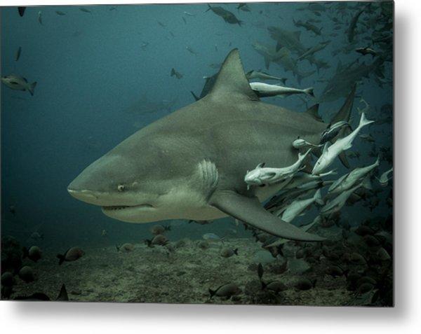 Bull Shark With Ramoras Metal Print