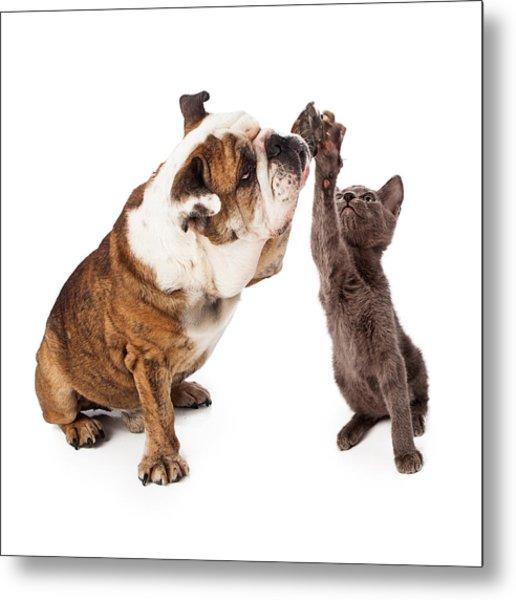 Bulldog And Kitten High Five  Metal Print