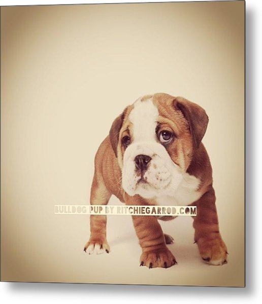 Bulldog Pup Metal Print by Ritchie Garrod