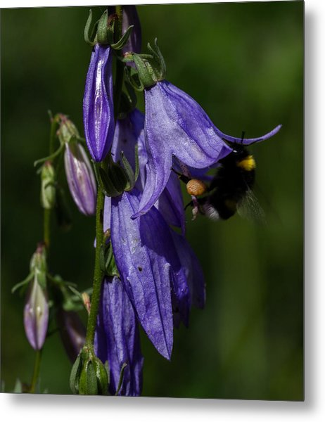 Metal Print featuring the photograph Bumblbee At Work by Leif Sohlman