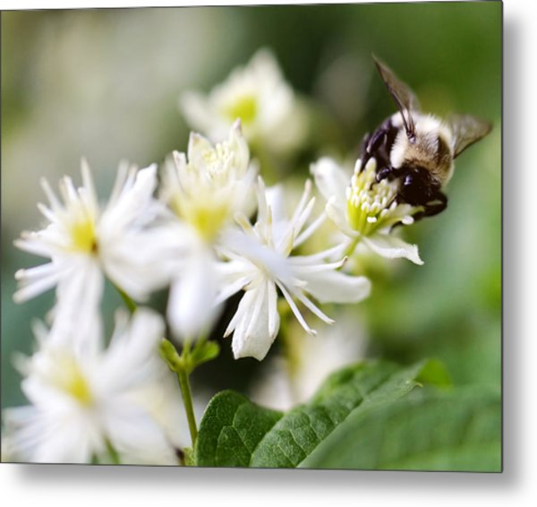 Bumble Bee On Clematis Metal Print by Ginger Wagner