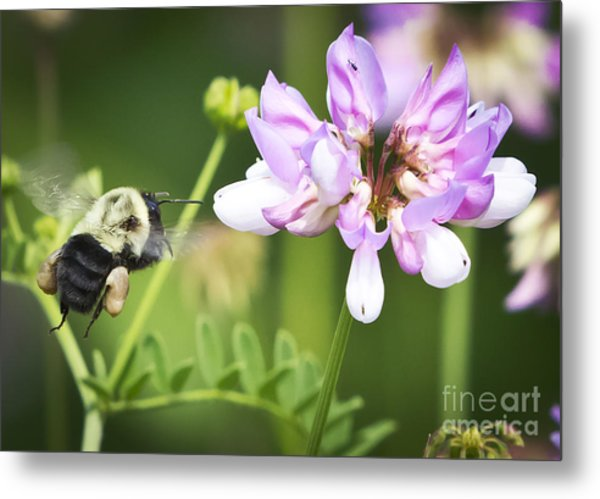 Bumble Bee With Pollen Basket Metal Print by Ricky L Jones