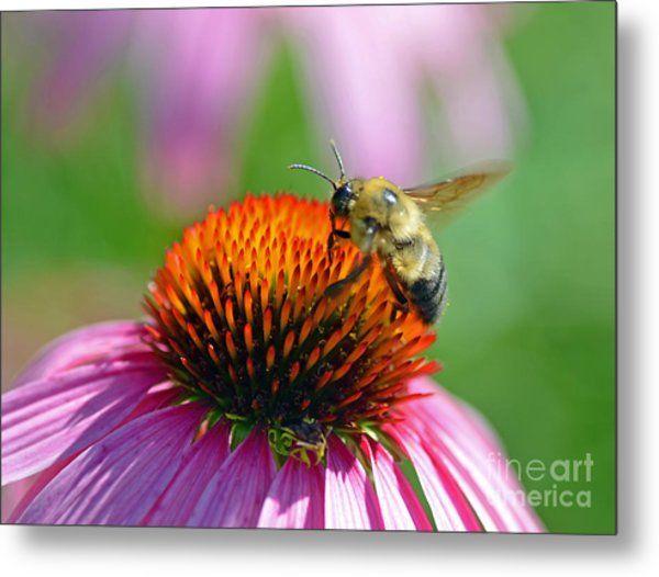 Bumblebee On A Coneflower Metal Print
