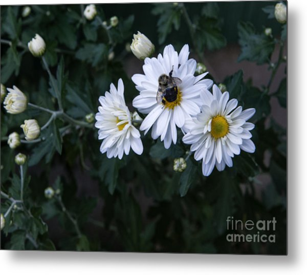 Bumblebee On Daisy Metal Print
