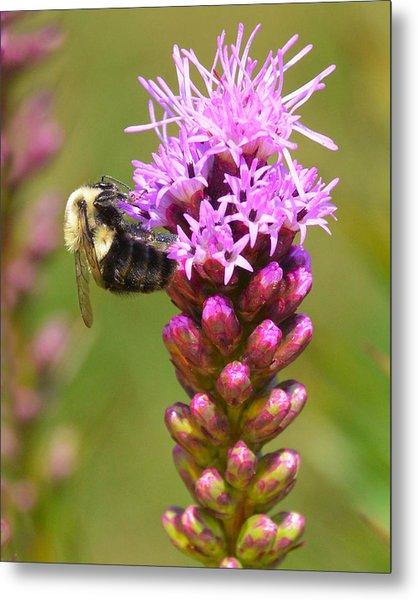 Bumblebee On Dense Blazing Star Metal Print
