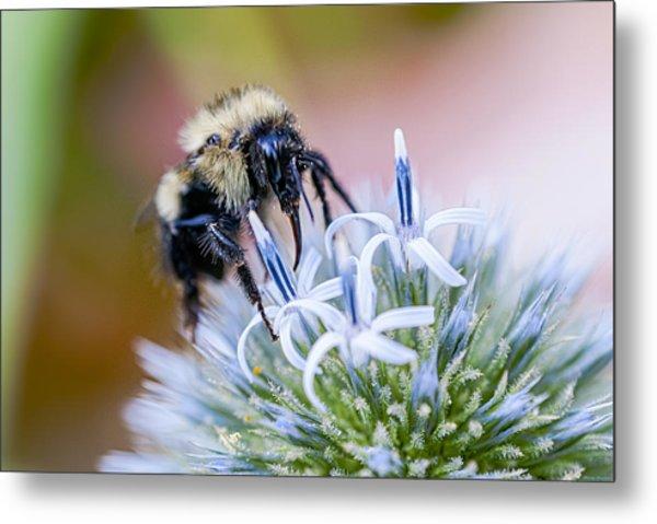Bumblebee On Thistle Blossom Metal Print