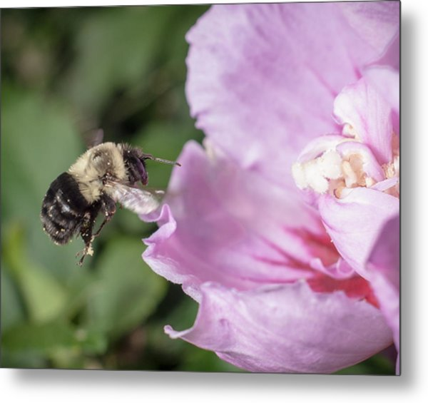 bumblebee to Rose of Sharon Metal Print