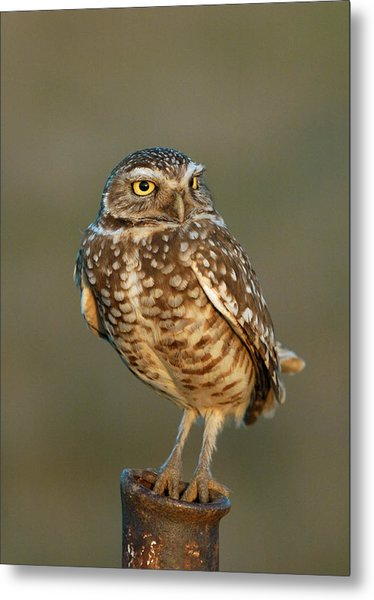 Burrowing Owl At Sunset Metal Print