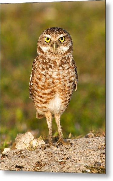 Burrowing Owl Metal Print by Joshua Clark