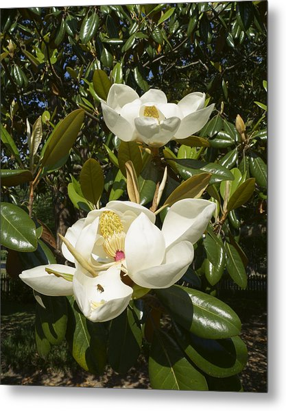 Busy Bee In A Magnolia Blossom 2 Metal Print