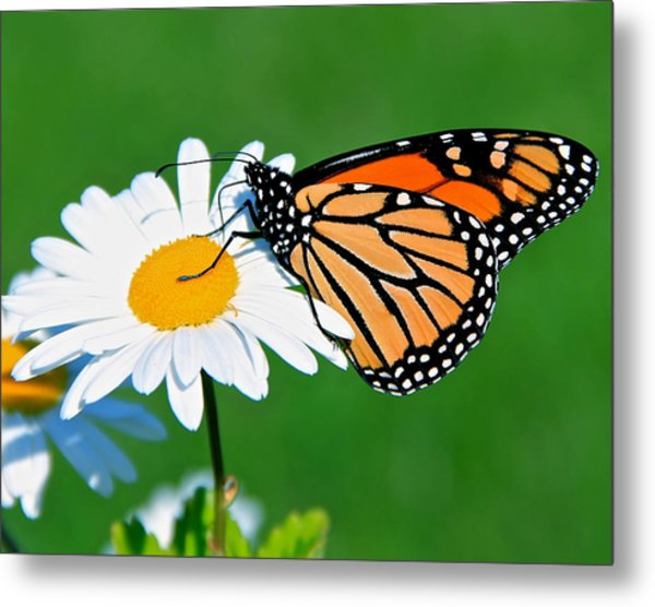 Butterfly And Daisey Metal Print