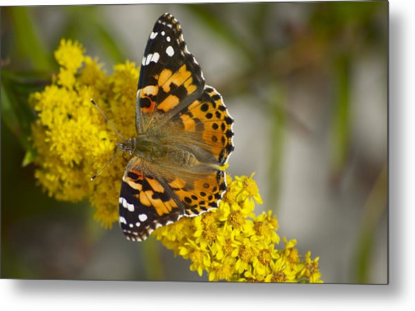 Butterfly And Goldenrod Metal Print