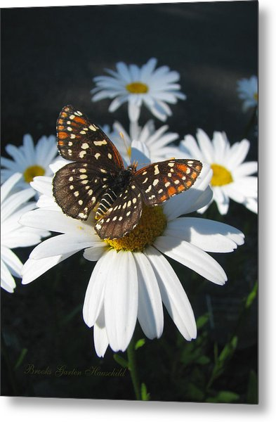 Butterfly And Shasta Daisy - Nature Photography Metal Print