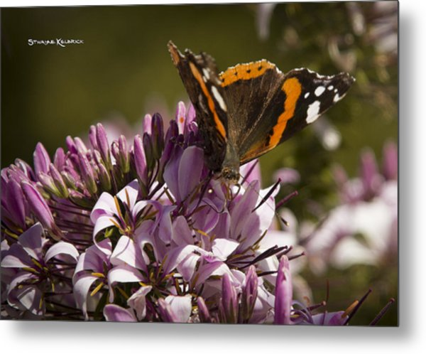 Metal Print featuring the photograph Butterfly Close Up by Stwayne Keubrick