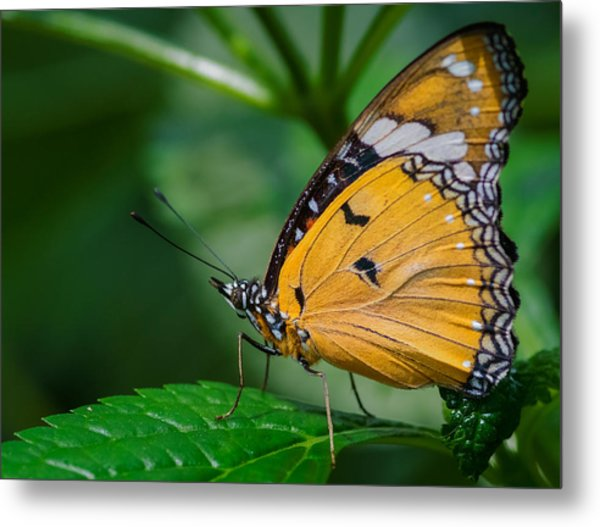 Metal Print featuring the photograph Butterfly  by Garvin Hunter