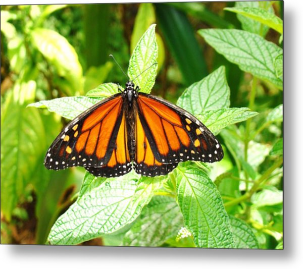 Butterfly In The Plants Metal Print by Van Ness