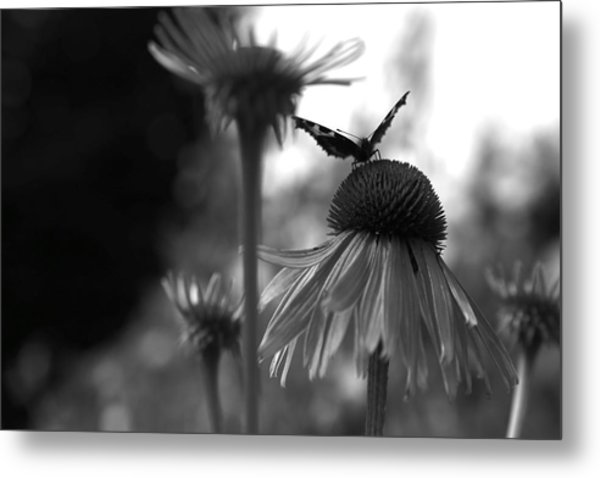Butterfly On Echinacea Metal Print by Maeve O Connell