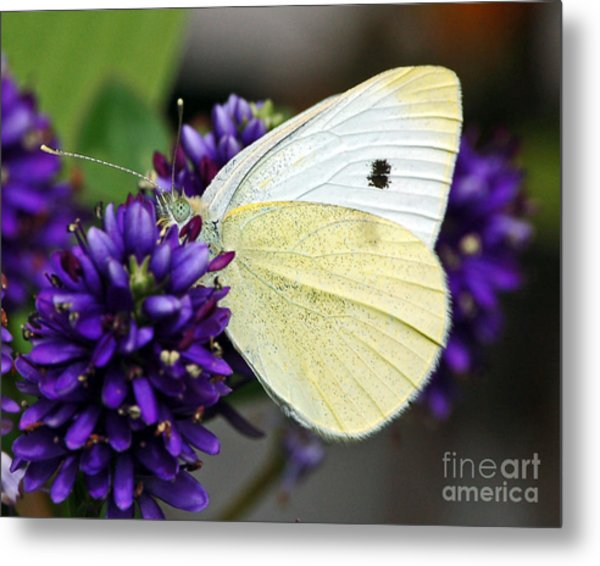 Butterfly On Hebe Metal Print