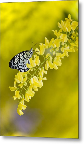 Butterfly On Laburnum Metal Print