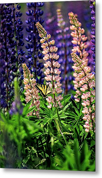 Butterfly On Lupine Metal Print