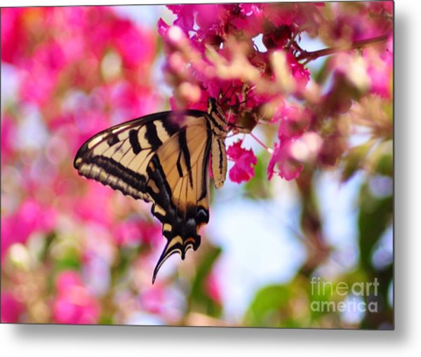 Butterfly On The Crepe Myrtle. Metal Print