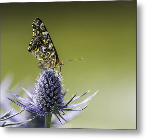 Butterfly On Thistle Metal Print