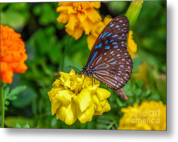Butterfly On Yellow Marigold Metal Print