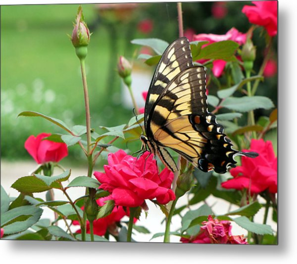 Butterfly Rose Metal Print