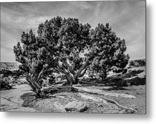 Bw Limber Pine Metal Print