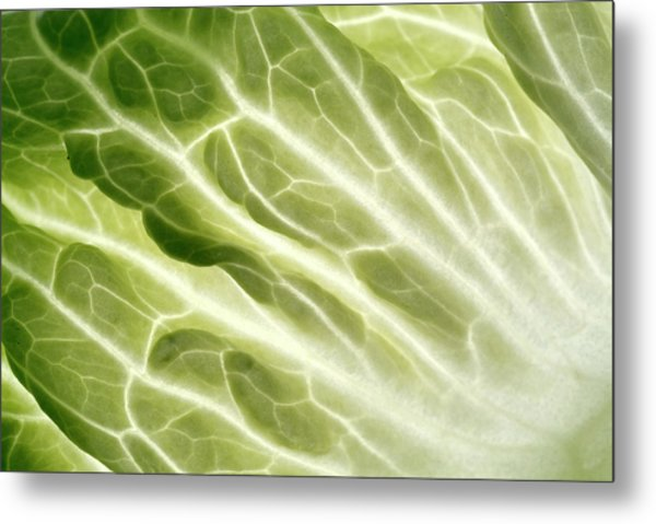 Cabbage Leaf Veins Metal Print by Uk Crown Copyright Courtesy Of Fera/science Photo Library