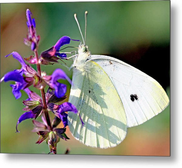 Cabbage White Butterfly Metal Print by Brian Magnier