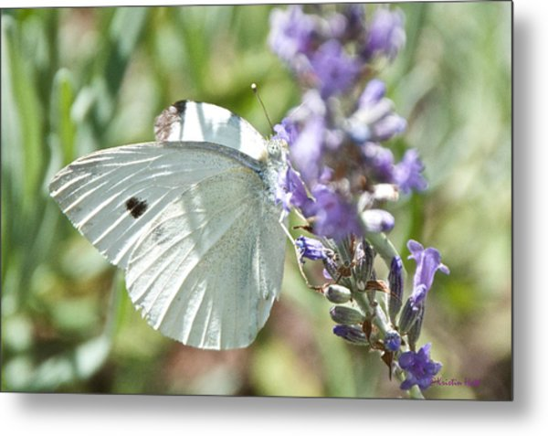 Cabbage White On Lavender  Metal Print