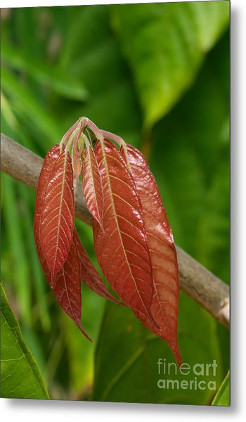 Cacao Leaf New Growth Metal Print