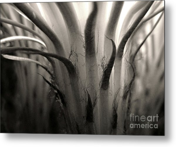 Cactus Bloom In Sepia Metal Print