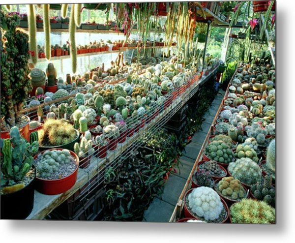 Cactus Collection In A Greenhouse Metal Print
