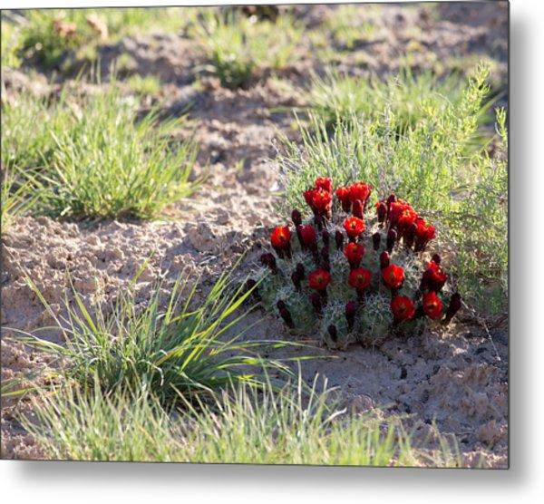Cactus Flowers Metal Print by Brian Magnier