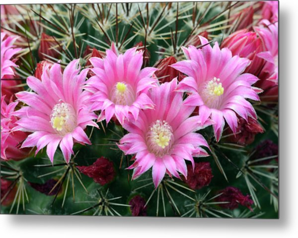 Cactus Mammillaria Zeilmanniana 'new Dawn' Metal Print by Nigel Downer/science Photo Library