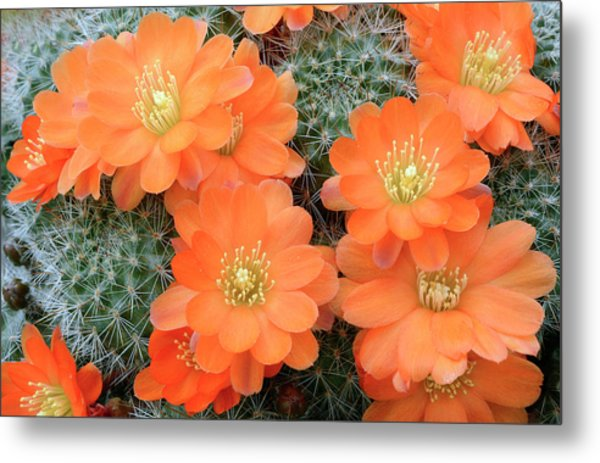 Cactus Rebutia Tamboensis Metal Print by Nigel Downer/science Photo Library