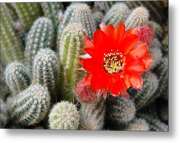Cactus With Orange Flower.  Metal Print