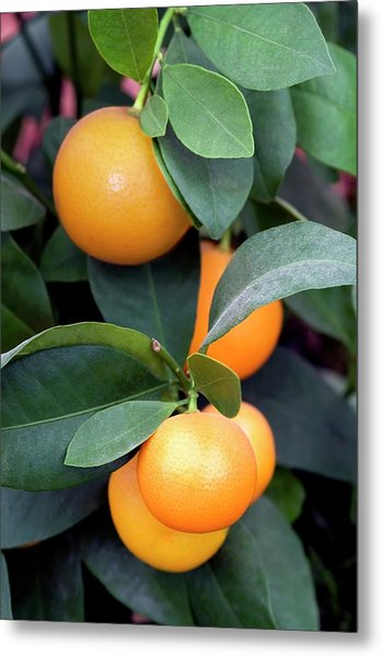 Calamondin (citrus Madurensis) Metal Print by Brian Gadsby/science Photo Library