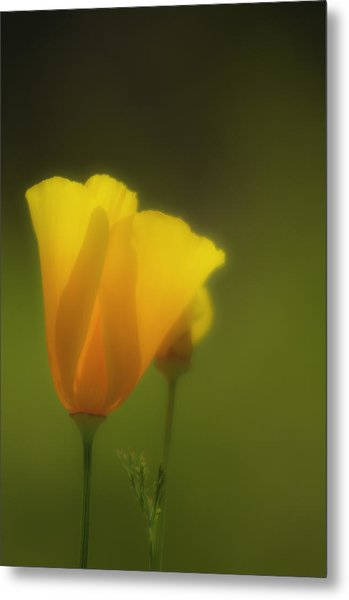 California Poppies 2 Metal Print