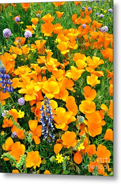 California Poppies And Betham Lupines Southern California Metal Print
