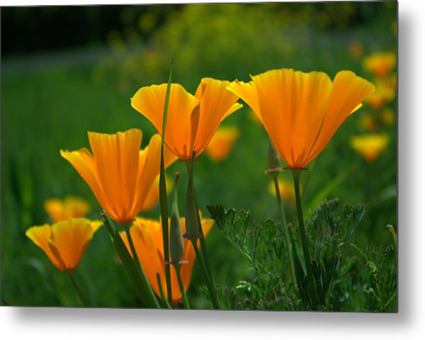 California Poppies Metal Print