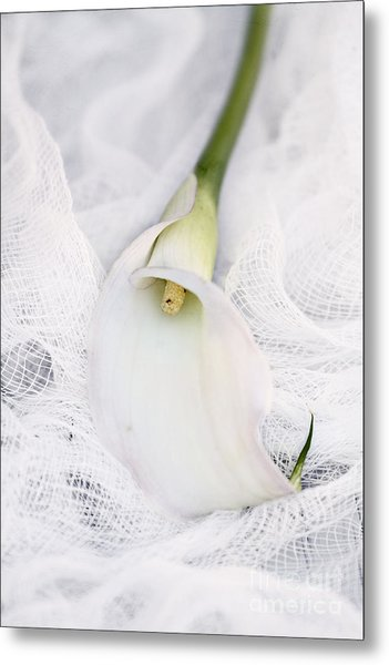 Calla Lily On White Background Metal Print