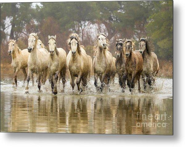 Camargue Horses At The Gallop Metal Print