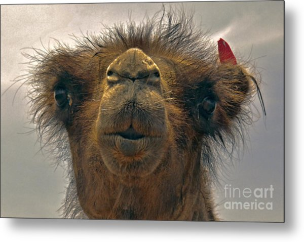 Camel In The Gobi- Mongolia Metal Print