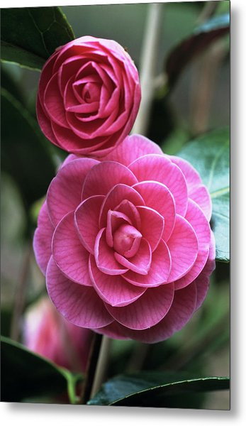Camellia Flowers Metal Print by Adrian Thomas/science Photo Library