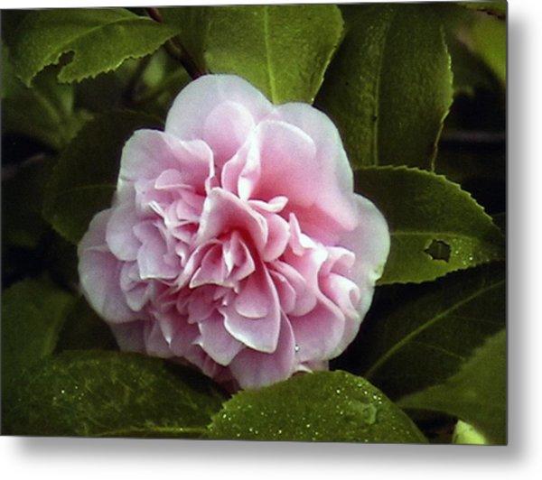 Camellia In Rain Metal Print