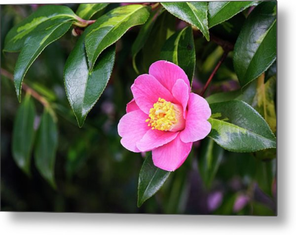 Camellia X Williamsii 'golden Spangles' Metal Print by Geoff Kidd/science Photo Library